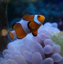 Clovn de pește de mare