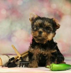 Yorkshire Terrier Toy Spitz Canisa