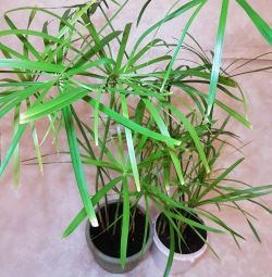 Tsiperus