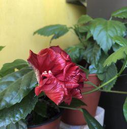Terry hibiscus