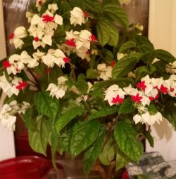 Clerodendrum floare.