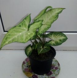 Πράσινο motley syngonium