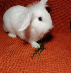 Білий блакитноокий декоративний кролик