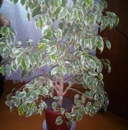 Ficus Bejamin