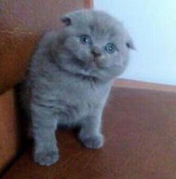 Chic Scottish cat