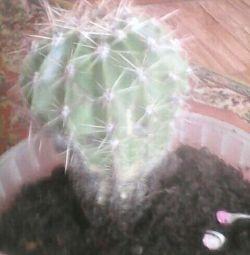 Pink geranium and cactus