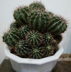 Очень многодетный кактус