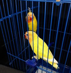 Pair of yellow pastel lovebirds