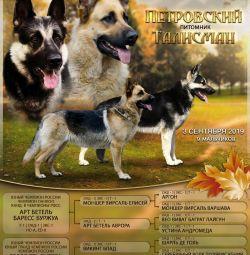 East european shepherd puppies veo