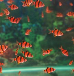 Aquarium fish barbus glo red
