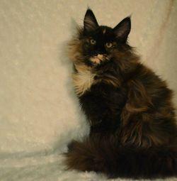 Maine Coon kitten (girl)