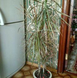 Dracaena 1m30 cm