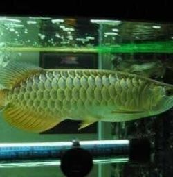 Premium quality Arowana Fish for sale