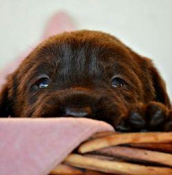 Labrador puppies, chocolate