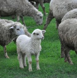 Herd of sheep of sheep