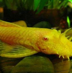 Fish catfish Antsistrusy gold