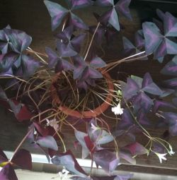 Oxalis purple, cilia (outgrowth)