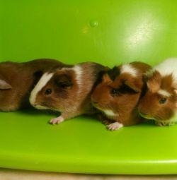 Acestea sunt porcii