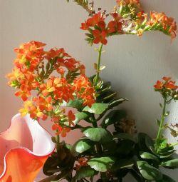 Flower decorative Kalanchoe