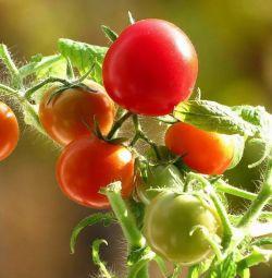 Balkon için domates fideleri, pencere pervazına