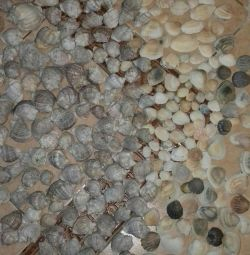 Shells mare 150 buc.