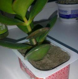 Money tree, chlorophytum