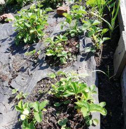 Φυτά φραουλών