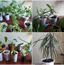 fuchsia mochrovaya, spatifilum, scarlet, decembrist, ficus