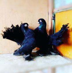 Porumbei - Stately și Chilli
