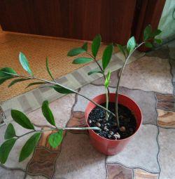 Zamioculcas (Dolar Ağacı)