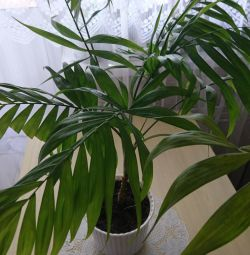 Hamedorea palm, fern