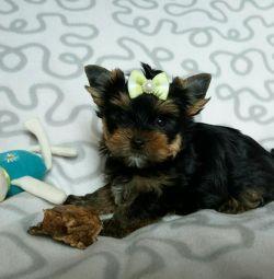 Puppies York micro mini and standard