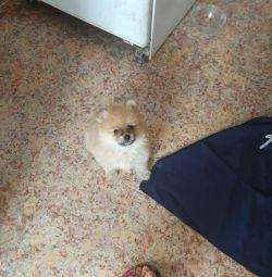 Câini spitz