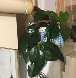 Hoya carnesonă