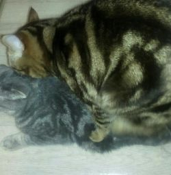 Кот на вязку, шотландский страйт