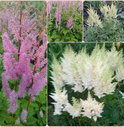 Astilba white and pink perennial saplings