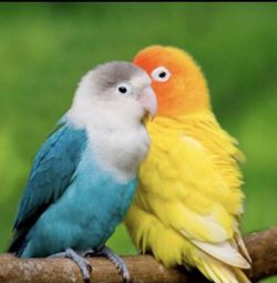 Diamond embroidery mosaic lovebirds parrots