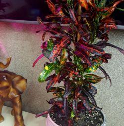 Croton / Codium Batik
