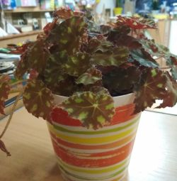 Begonia Bauer with a pot
