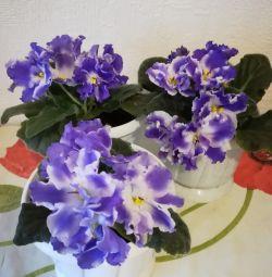 Floare Violete cu o oală