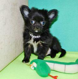 Fluffy boy chihuahua