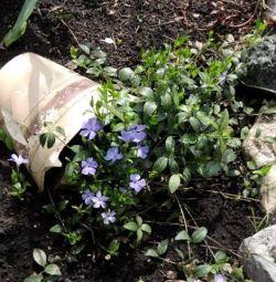 Periwinkle for the garden (seedlings)