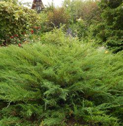 Juniper (cuttings)