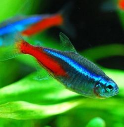 Aquarium fish Neon blue