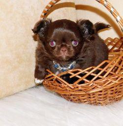Шоколадний пухнастий хлопчик чихуахуа