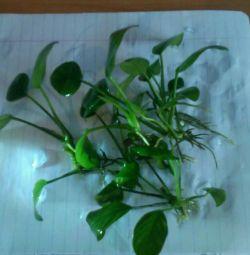 Plante în acvariu. Condiții de viață.