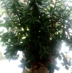 Arborele de bani Krasula (Crassula)