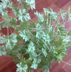 geranium lămâie