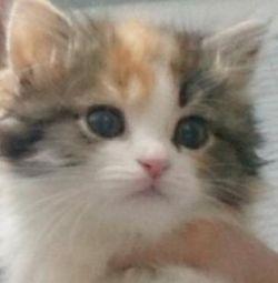 котенок девочка 1.5 мес трехцветная пушистая с док