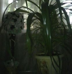 Pandamus, 110cm